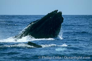 Humpback whale, head lunge with inflated throat in active group, Megaptera novaeangliae, Maui