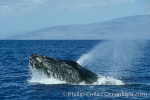 Humpback whale, head lunge in active group. Maui, Hawaii, USA, Megaptera novaeangliae, natural history stock photograph, photo id 04023