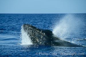 Humpback whale, head lunge in active group. Maui, Hawaii, USA, Megaptera novaeangliae, natural history stock photograph, photo id 04027
