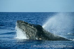 Humpback whale, head lunge in active group, Megaptera novaeangliae, Maui