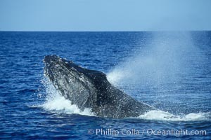 Humpback whale head lunging, rostrum extended out of the water, exhaling at the surface, exhibiting surface active social behaviours. Maui, Hawaii, USA, Megaptera novaeangliae, natural history stock photograph, photo id 04033