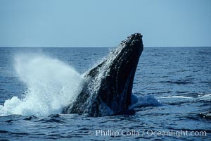 Humpback whale head lunging, rostrum extended out of the water, exhaling at the surface, exhibiting surface active social behaviours. Maui, Hawaii, USA, Megaptera novaeangliae, natural history stock photograph, photo id 04035