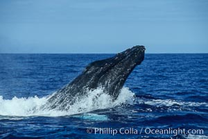 Humpback whale head lunging, rostrum extended out of the water, exhibiting surface active social behaviours, Megaptera novaeangliae, Maui
