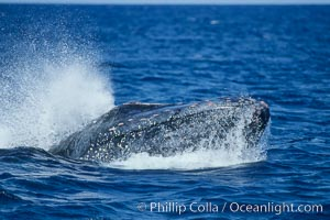 Humpback whale head lunging, showing bleeding tubercles caused by collisions with other whales, rostrum extended out of the water, exhaling at the surface, exhibiting surface active social behaviours, Megaptera novaeangliae, Maui