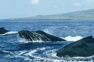 Humpback whale surface active group, male escort head lunging, Megaptera novaeangliae, Maui