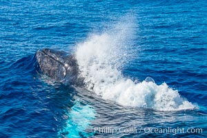 Humpback whale head lunge and blow in active group, Maui