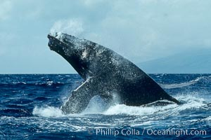 Humpback whale lunging clear of the water and falling forward with pectoral fins extended, a behavior known as a head slap. Maui, Hawaii, USA, Megaptera novaeangliae, natural history stock photograph, photo id 00389