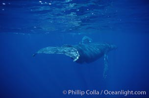 North Pacific humpback whale, fluke in foreground, Megaptera novaeangliae, Maui