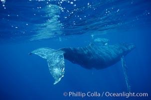North Pacific humpback whale. Maui, Hawaii, USA, Megaptera novaeangliae, natural history stock photograph, photo id 00146