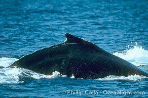 Humpback whale rounding out at the surface before diving, showing its dorsal fin, Megaptera novaeangliae, Maui