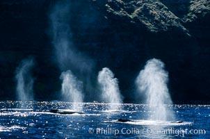 North Pacific humpback whales, Megaptera novaeangliae, Maui