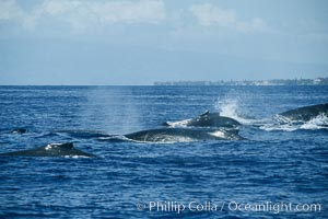 Humpback whale surface active group, Megaptera novaeangliae, Maui