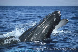 Humpback whale surface active group, male escort crucifix blocking another escort, Megaptera novaeangliae, Maui