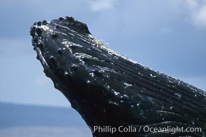 Humpback whale rostrum detail showing throat pleats (top), chin and tubercles, Megaptera novaeangliae, Maui
