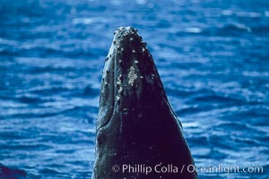 Humpback whale calf with small patch of whale lice on top of rostrum. Maui, Hawaii, USA, Megaptera novaeangliae, natural history stock photograph, photo id 04290