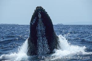 Humpback whale, rostrum raised, ventral aspect showing throat pleats, Megaptera novaeangliae, Maui