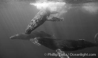 North Pacific humpback whales, socializing trio of adults, Megaptera novaeangliae, Maui
