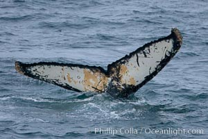 Humpback whale, raising its fluke before it dives.  The distinctive patterns on the underside of the whales fluke allow it to be identified by researchers.11, Megaptera novaeangliae, Gerlache Strait