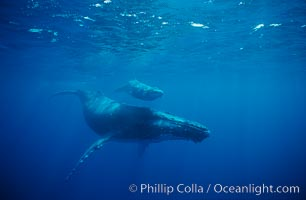 North Pacific humpback whale, cow/calf. Maui, Hawaii, USA, Megaptera novaeangliae, natural history stock photograph, photo id 00139