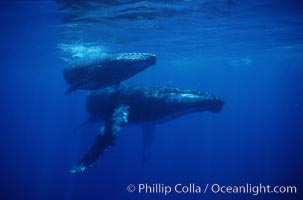 North Pacific humpback whale, mother and calf. Maui, Hawaii, USA, Megaptera novaeangliae, natural history stock photograph, photo id 01213