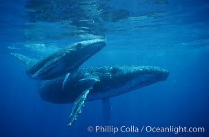 North Pacific humpback whale, mother and calf. Maui, Hawaii, USA, Megaptera novaeangliae, natural history stock photograph, photo id 01214