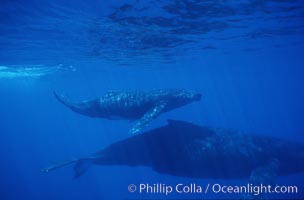 North Pacific humpback whale, mother and calf. Maui, Hawaii, USA, Megaptera novaeangliae, natural history stock photograph, photo id 01239