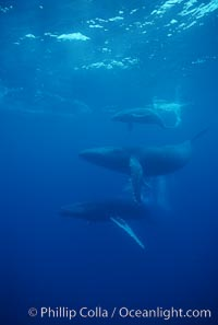 North Pacific humpback whale, mother (middle), calf (top) and escort (bottom), Megaptera novaeangliae, Maui
