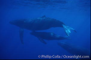 Humpback whale mother, calf and escort, Megaptera novaeangliae, Maui