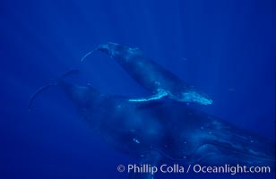 North Pacific humpback whale, mother and calf. Maui, Hawaii, USA, Megaptera novaeangliae, natural history stock photograph, photo id 06041