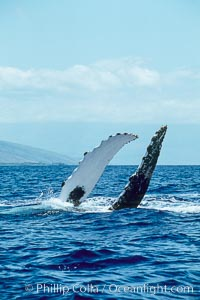 Humpback whale with both of its long pectoral fins raised aloft out of the water, swimming on its back (inverted) as it does so, Megaptera novaeangliae, Maui