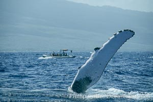Humpback whale with one of its long pectoral fins raised aloft out of the water, swimming on its side (laterally) as it does so. Maui, Hawaii, USA, Megaptera novaeangliae, natural history stock photograph, photo id 01473