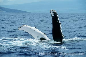 Humpback whale swimming inverted with both pectoral fin raised clear of the water, Megaptera novaeangliae, Maui
