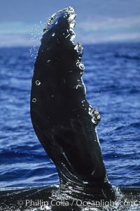 Humpback whale swimming with raised pectoral fin (dorsal aspect). Maui, Hawaii, USA, Megaptera novaeangliae, natural history stock photograph, photo id 04144