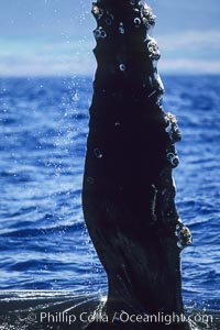 Humpback whale swimming with raised pectoral fin (dorsal aspect), Megaptera novaeangliae, Maui