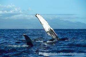 Humpback whale swimming with raised pectoral fin (ventral aspect), Megaptera novaeangliae, Maui