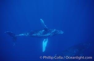 Humpback whale turning with pectoral fins, Megaptera novaeangliae, Maui