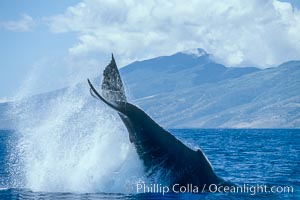 Humpback whale performing a peduncle throw. Molokai, Hawaii, USA, Megaptera novaeangliae, natural history stock photograph, photo id 03959