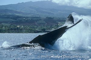 Humpback whale performing a peduncle throw. Maui, Hawaii, USA, Megaptera novaeangliae, natural history stock photograph, photo id 03963