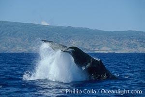 Humpback whale performing a peduncle throw. Molokai, Hawaii, USA, Megaptera novaeangliae, natural history stock photograph, photo id 03966