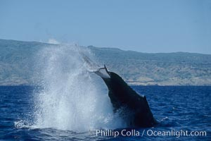 Image 03967, Humpback whale performing a peduncle throw. Molokai, Hawaii, USA, Megaptera novaeangliae