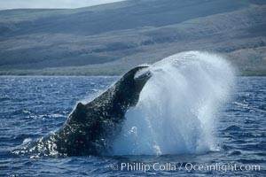 Humpback whale performing a peduncle throw. Maui, Hawaii, USA, Megaptera novaeangliae, natural history stock photograph, photo id 03969