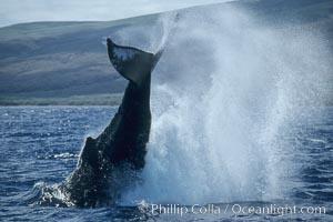 Humpback whale performing a peduncle throw, Megaptera novaeangliae, Lanai
