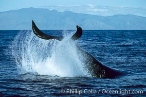 Humpback whale performing a peduncle throw, Megaptera novaeangliae, Molokai