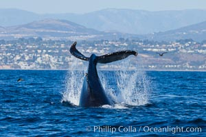 A humpback whale raises it fluke out of the water, the coast of Del Mar and La Jolla is visible in the distance. Del Mar, California, USA, Megaptera novaeangliae, natural history stock photograph, photo id 27124