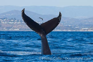 A humpback whale raises it fluke out of the water, the coast of Del Mar and La Jolla is visible in the distance. Del Mar, California, USA, Megaptera novaeangliae, natural history stock photograph, photo id 27137