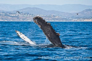 A humpback whale raises it pectoral fin out of the water, the coast of Del Mar and La Jolla is visible in the distance, Megaptera novaeangliae