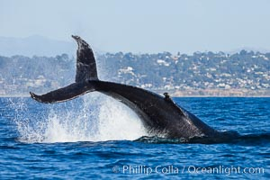 A humpback whale raises it fluke out of the water, the coast of Del Mar and La Jolla is visible in the distance. Del Mar, California, USA, Megaptera novaeangliae, natural history stock photograph, photo id 27141
