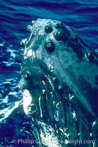 Humpback whale rostrum, ventral aspect showing chin and tubercles, Megaptera novaeangliae, Maui