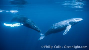North Pacific humpback whales, part of a larger competitive group of humpbacks, Megaptera novaeangliae, Maui
