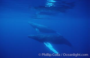 North Pacific humpback whales, part of competitive group, Megaptera novaeangliae, Maui